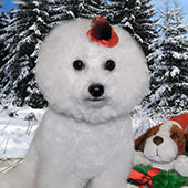 bichon-frise-batti-small-1