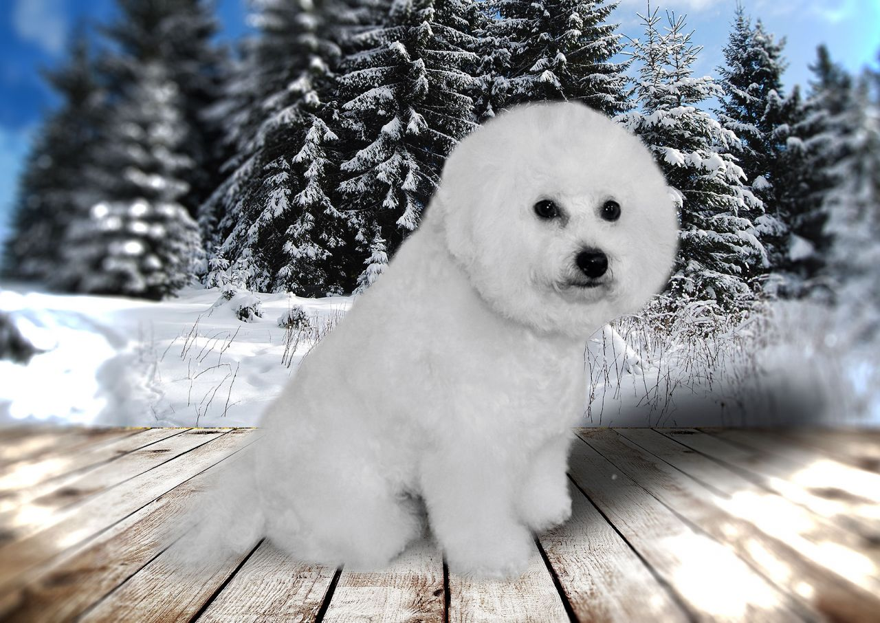 bichon-frise-batti-big-3