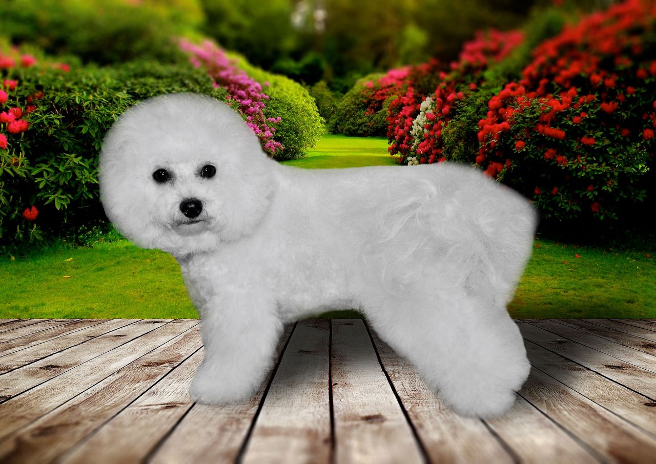 bichon-frise-batti-big-1
